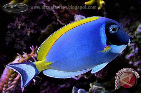 Ikan Hias Laut 48 kiat merawat ikan hias air laut antara news jambi