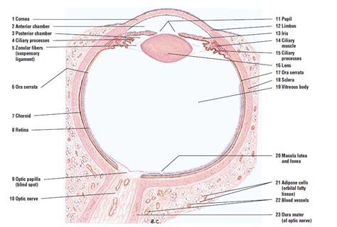 sagittal section of the eye eye