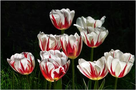 imagenes tulipanes hermosos banco de im 193 genes 30 fotos de tulipanes en varios colores