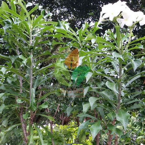 Bibit Bunga Putih jual bibit bunga pagoda putih 25 cm agro bibit id