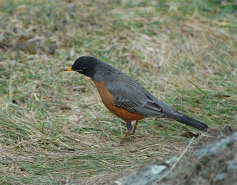 how do robins find earthworms