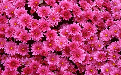 mums flowers magenta mums wallpapers hd wallpapers