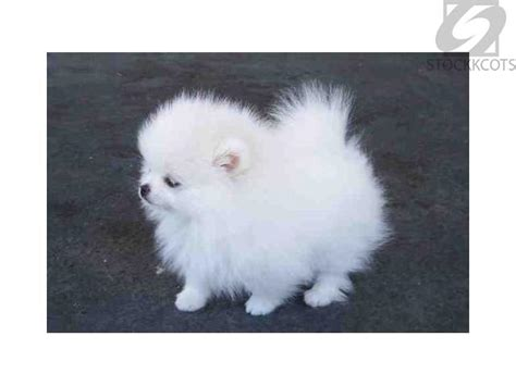 teacup pomeranian breeders australia intelligent white teacup pomeranian puppies for sale melbourne free classifieds