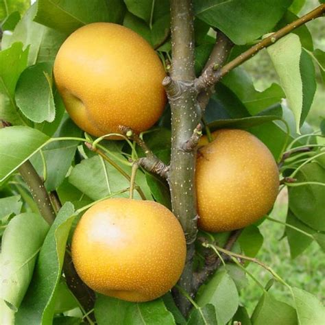 Bibit Buah Pear Asia chojuro asian pear pear trees stark bro s