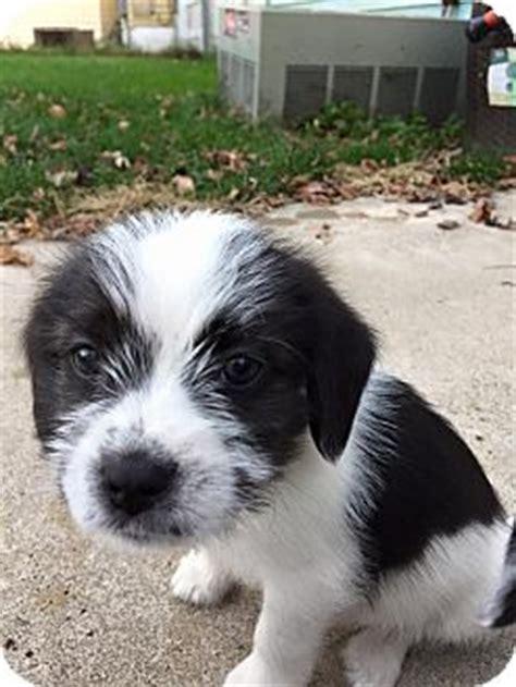 shih tzu rescue columbus ohio columbus oh beagle shih tzu mix meet sirius a puppy for adoption