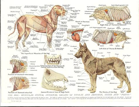 puppy anatomy 1930s veterinary colour print the muscular system