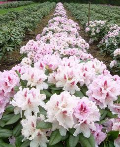 what type of soil is best for rhododendron 2018 diy how to advice self help guides