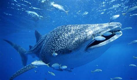balena alimentazione un altro squalo pericoloso lo squalo toro