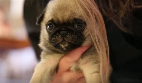 hair pug this tiny pug puppy with owner s hair is for words