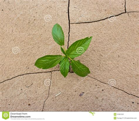 plant growing through dry cracked soil stock image image 31651551
