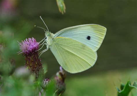 tiny white butterfly conservation small white