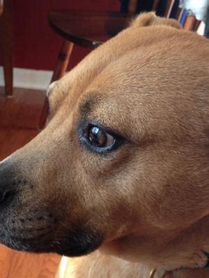 Homemade Dog Beds Black Spot In Dog S Iris Amp Eye Bulging
