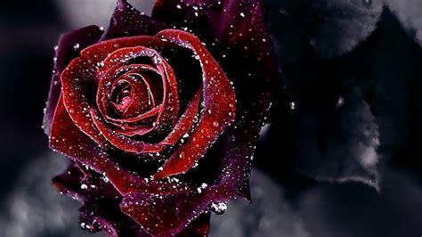Red Rose dark Flower Background HD Wallpaper 1080p pics