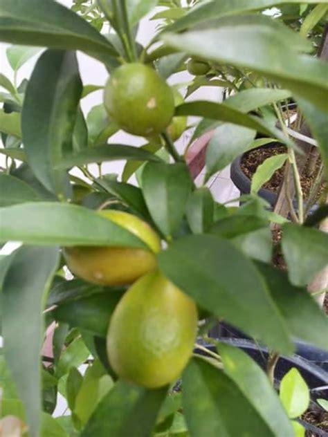 Tanaman Jeruk Nagami Bundar 1 buah jeruk nagami jualbenihmurah