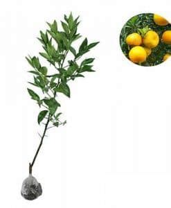 Promo Jeruk Chokun cara membuat bibit jeruk manis bibit