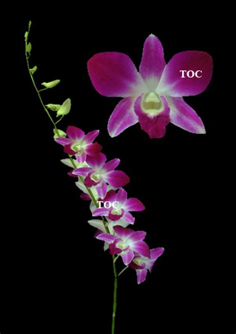 Dendrobium Airy Gold lilys enterprises 187 dendrobiums