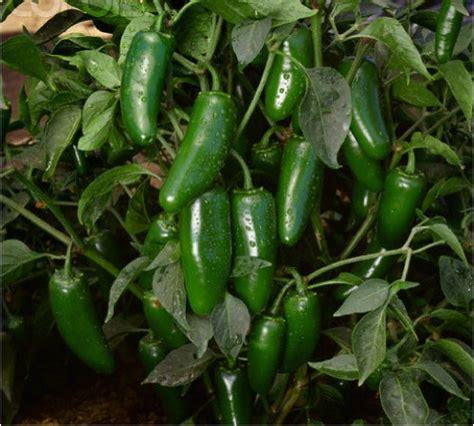 Garden Jalapenos Picture Of Jalapeno Pepper Gardenality