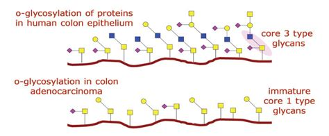 o linked carbohydrates the structure function and importance of carbohydrates