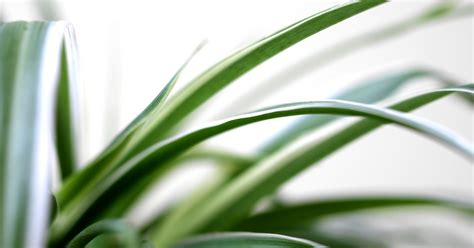 Yellow Brown Intl how to care for a spider plant with yellow brown leaves
