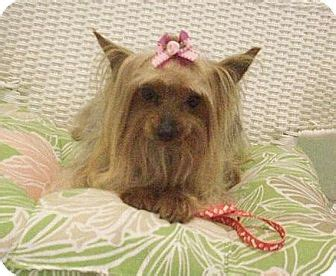 yorkie rescue jacksonville fl jacksonville fl yorkie terrier meet a for adoption