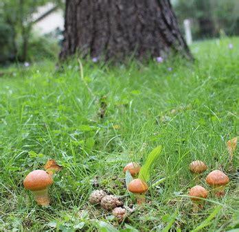 Warum So Viele Pilze Im Garten by Pilzticker Sh 1 Schleswig Holstein Funde Vom 10 09 2013
