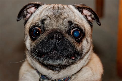 pug voice 7 signs you re turning into a person rover