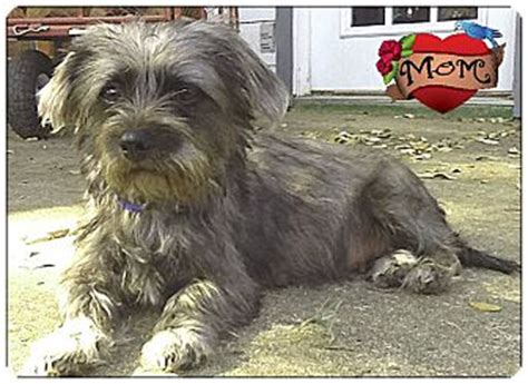 cairn shih tzu mix johnson city tx cairn terrier shih tzu mix meet a for adoption