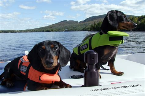 dog boat life jackets country dog city dawg crusoe the celebrity dachshund