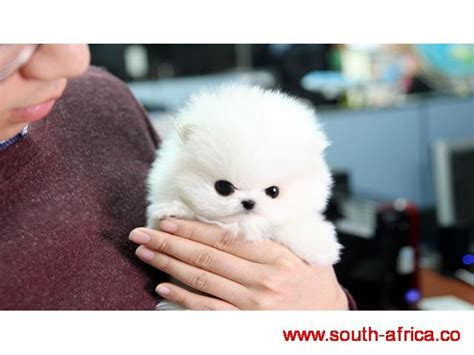 puppies for rehoming pomeranian puppies for rehoming free south classifieds