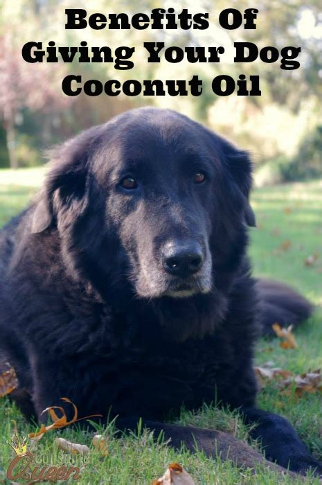 benefits of coconut for dogs benefits of giving your coconut consumerqueen oklahoma s coupon