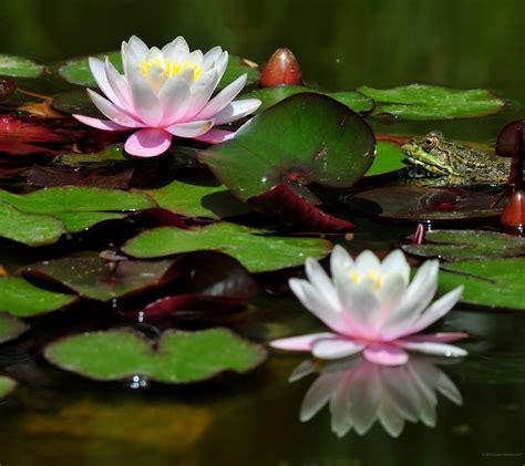 fiori per sfondi 2880 x 2560 ninfee sfondi fiori immagini di sfondo