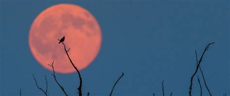 Strawberry Moon Lights Up Sky In Rare Lunar Event Abc News | strawberry moon lights up sky in rare lunar event abc news