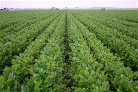 coltivazione sedano rapa sedano apium graveolens aromatiche sedano