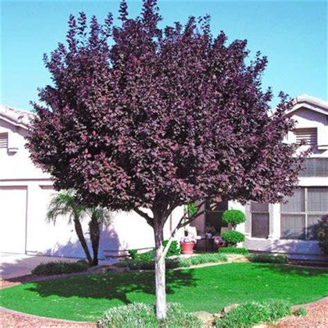 small purple tree best 25 desert trees ideas on s
