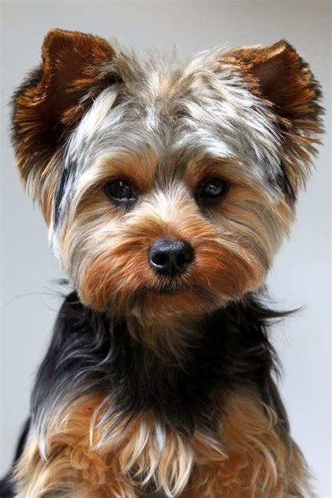 yorkie owners 12 realities new yorkie owners must accept