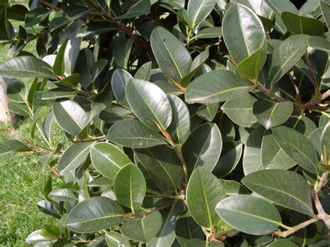 tipi di bonsai da interno ficus elastica ficus elastica piante da interno