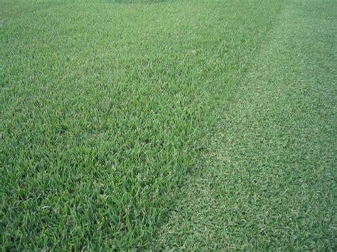 zoysia vs bermuda products macon turf farm