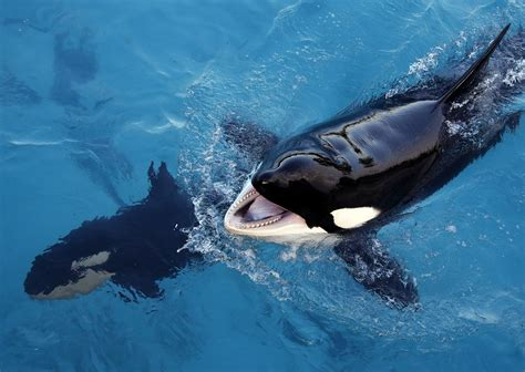 Whale Chat killer whale is taught how to speak through its blowhole