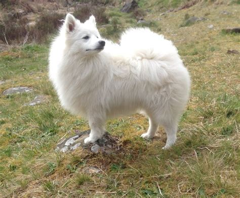 spitz puppies for sale japanese spitz puppies for sale port talbot neath port talbot pets4homes