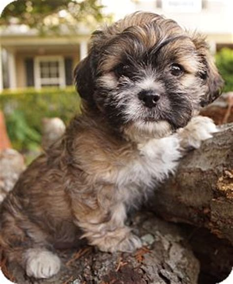 yorkie shih tzu mix for adoption newark de shih tzu yorkie terrier mix meet grasshopper a puppy for
