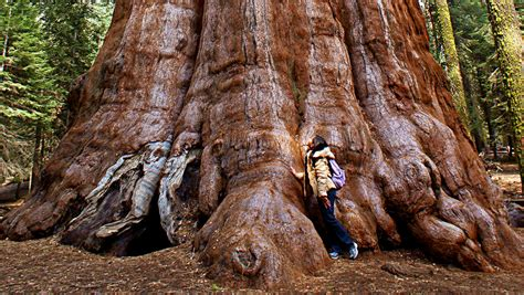 a living tree quot the general sherman quot the worlds largest living tree loca