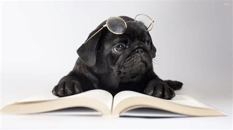 black pug wallpaper black pug with glasses wallpaper animal wallpapers 50637