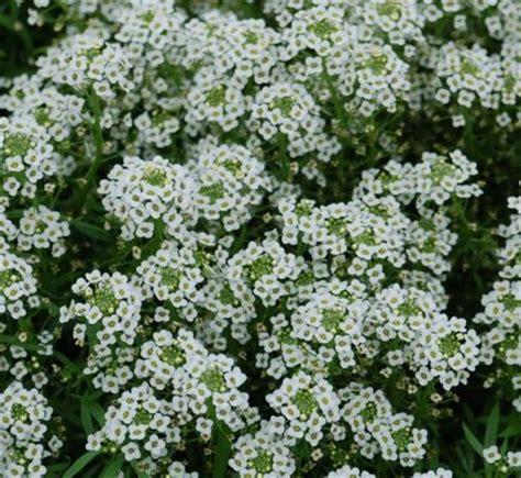 white flower ground cover plants savingourboys info