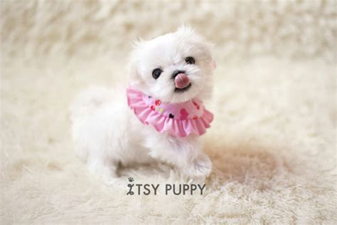 micro teacup maltese puppies for sale sold opal micro maltese itsy puppy teacup microteacup puppies for sale