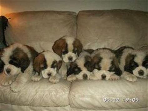 st bernard puppies for sale in nc bernard puppies in california