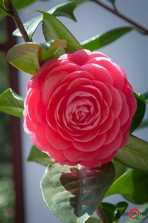 fiore di camelia ricette a base di fiori quando il giardinaggio si unisce