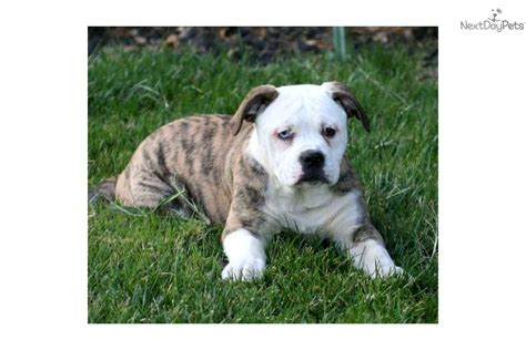 blue eyed bulldog puppies for sale blue american bulldog puppies for sale