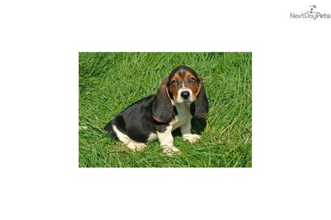 miniature basset hound puppies for sale in basset hound puppy for sale near des moines iowa eb8ac3d8 9971