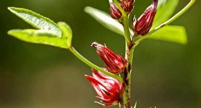 efek samping bunga rosella bagi tubuh