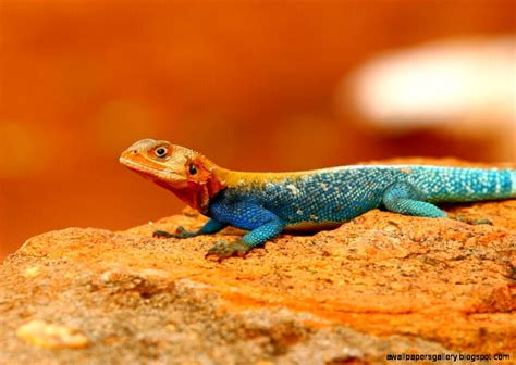 colorful lizard colorful lizard wallpaper wallpapers gallery